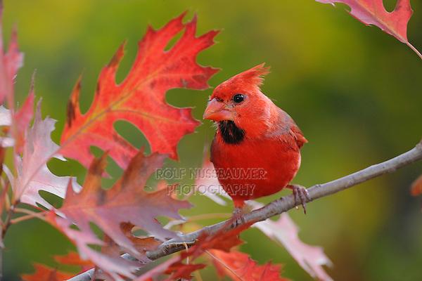 Northern Cardinal (Cardinalis cardinalis), immature male on Texas Red Oak (Quercus Texana), New Braunfels, San Antonio, Hill Country, Central Texas, USA