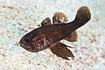 Astrapogon stellatus, Conchfish, Florida Keys
