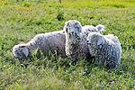 Three Angora Goats in a Grassy Field