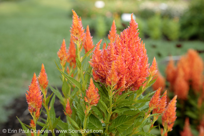 Celosia Plumosa flowers during the summer months at  Prescott Park in Portsmouth, New Hampshire USA