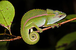 Short-nosed Chameleon (Calumma gastrotaenia) in montane rainforest understorey. Vohiparara, Ranomafana National Park, Madagascar.