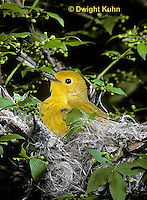 WB07-017z  Yellow Warbler sitting on nest, Dendroica petechia aestiva [aestiva group]