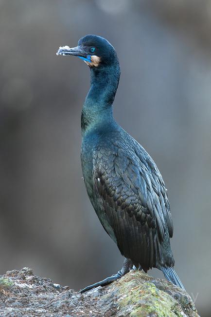 Brandt's Cormorant (Phalacrocorax penicillatus). Oregon. June.