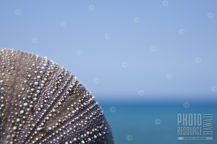 Semi abstract image of a purple sea urchin shell (vana) against the blue sky, horizon and ocean