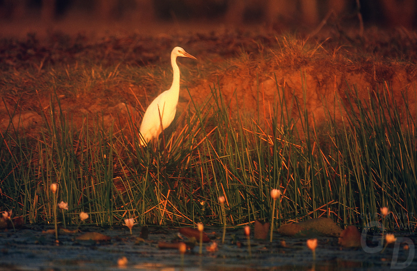 An Egret bathing in the last light of the day, Yellow Waters Kakadu National Park, Northern Territory Australia