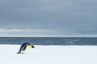 Snow Hill Island, Antarctic. Emperor Penguin about to toboggan.