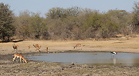 This watering hole in Kruger was popular with a variety of species.