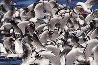 Flock of Silver Gulls in flight