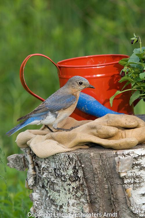 Female eastern bluebird standing on gardening gloves