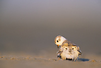 Piping Plover, brooding newborn chicks, Stone Harbor, New Jersey