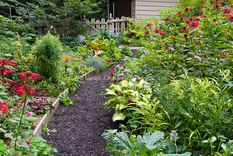 Black mulched pathway walk next to raised beds curving, picket fence, house, red Monarda, hosta Great expectations, Kale vegetable, Hakonechloa Allgold, shrubs, Hamamelis, perennial garden bed borders