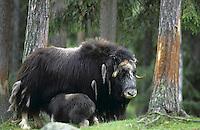 Moschusochse, Weibchen säugt Kalb, Moschus-Ochse, Bisamochse, Schafsochse, Ovibos moschatus, muskox
