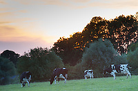 Rind, Hausrind, Kuh, Kühe, Rinder, Milchkuh, Milchkühe, Abendstimmung, Sonnenuntergang, artgerechte Tierhaltung, Weidevieh, Weidewirtschaft, Abendrot, Abendhimmel, Abendstimmung. cattle, cow, milk cow, milk cows, milker, sunset, sundown, afterglow, Evening mood. Hamfelder Hof, Schleswig-Holstein