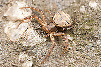 Ground Crab Spider (Xysticus ferox) - Female, West Harrison, Westchester County, New York