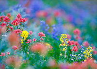 Mixed wildflowers. Mostly lupine,paintbrush and Wall Flower. Hurricane Ridge. Olympic National Park. Washington.