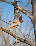 red tail hawk taking flight from a cottonwood tree in montana