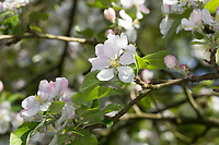 Apfel, Apfelbaum, Apfel-Baum, Apfelblüte, Kultur-Apfel, Malus domestica, Apple, Le pommier domestique, pommier commun, Obstbaum