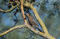 Gila Woodpecker, Melanerpes uropygialis, adult, Tucson, Arizona, USA, January 1995