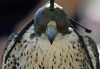 A captive Saker Falcon (Falco cherrug), native to Southern Europe and Asia, is hooded which quiets the bird down