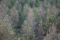 Pinien-Prozessionsspinner, Pinienprozessionsspinner, Prozessionsspinner, Raupe, Raupen, Gespinstnest, Gespinstsack, Gespinstsäcke an Kiefern, Allergieauslöder, Allergie, allergisch, Thaumetopoea pityocampa, Traumatocampa pityocampa, Pine processionary, allergy, atopy, allergy trigger, Thaumetopoeidae