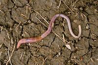 Regenwurm, Regen-Wurm, Tauwurm, Wurm, Lumbricus terrestris, common earthworm, earth worm, earthworm, lob worm, dew worm