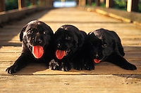 Black Labrador puppies.