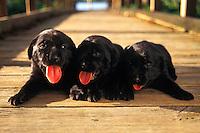 Black Labrador puppies.