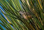 A Cactus Wren perches on a reed of grass, Arizona