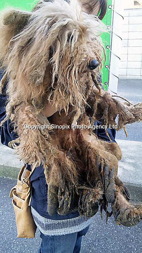 """A dog saved from a puppy mill is unrecognizable in a  """"puppy mill"""" in Kyushu, Japan show the horrendous conditions that many breeders operate under. Breeders are largely unregulated in Japan...photo by  / Sinopix............"""
