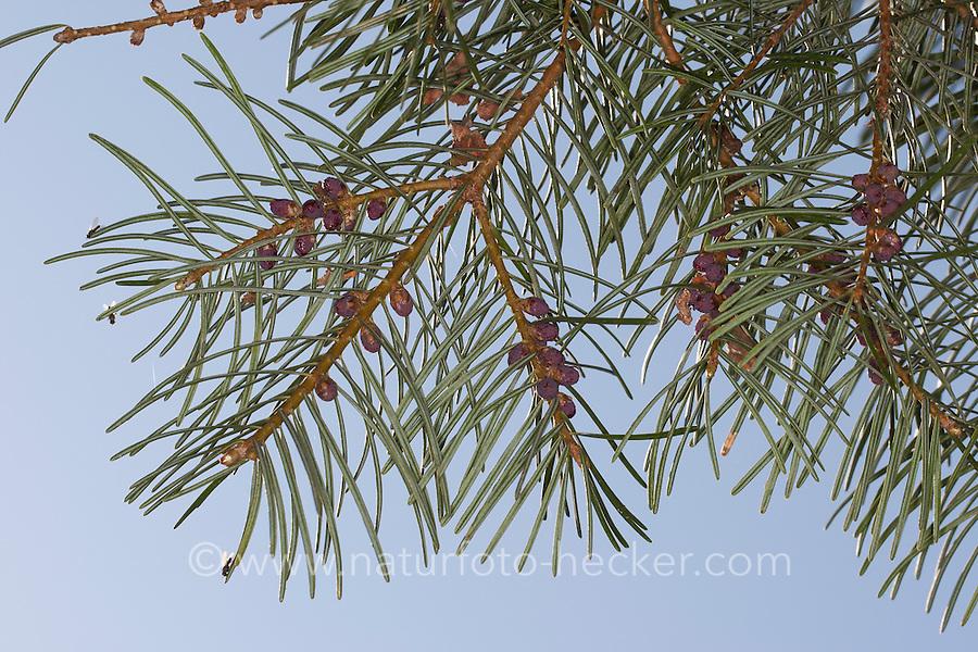 Colorado-Tanne, Kolorado-Tanne, Grau-Tanne, Grau-Tanne, Tanne, Abies concolor, White fir, Colorado fir