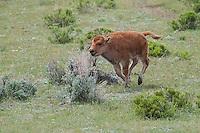Buffalo calf in Yellowstone National Park
