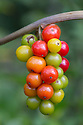 Black Bryony {Tamus communis} berries. Cambridgeshire, UK. September.