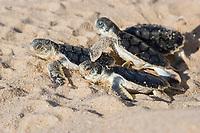 Australian flatback sea turtle hatchlings, Natator depressus (c-r), emerge from nest, Crab Island, off Cape York Peninsula, Torres Strait Queensland, Australia