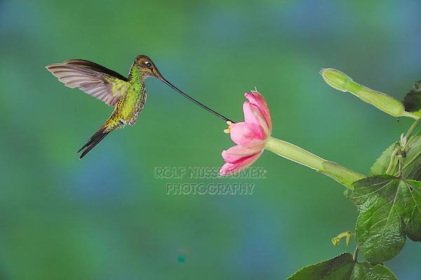 Sword-billed Hummingbird (Ensifera ensifera), male feeding from passionflower (Passiflora mixta),Papallacta, Ecuador, Andes, South America