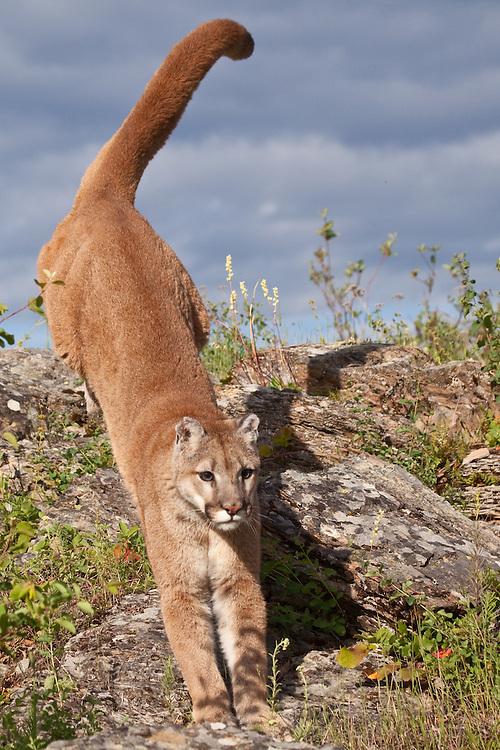 Mountain Lion running down a hill - CA