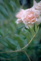 Soft pink roses in full bloom