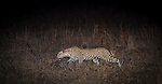 Adult female Leopard (Panthera pardus) stalking prey after dark along the banks of the Luangwa River. South Luangwa National Park, Zambia.
