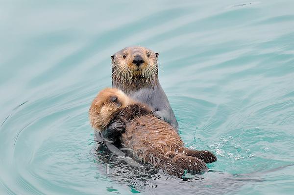 Alaskan or Northern Sea Otter (Enhydra lutris) mom holding young baby or pup.  Alaska.