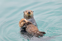 Alaskan or Northern Sea Otter (Enhydra lutris) mom holding young baby or pup.  Alaska.