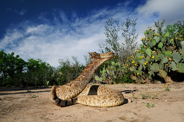 Western Diamondback Rattlesnake (Crotalus atrox), adult in striking pose, Laredo, Webb County, South Texas, USA