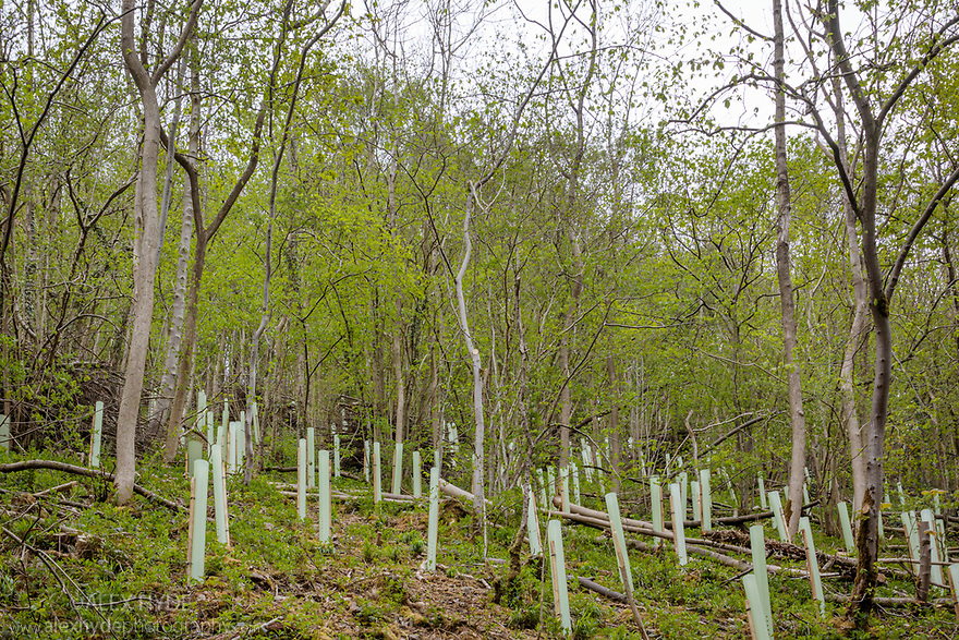 Ash dieback management, involving thinning out young stressed / diseased ash trees and replacing with other native species such as small-leaved lime and wych-elm. Lathkill Dale National Nature Reserve SSSI. Peak District National Park, Derbyshire, UK. May 2019.