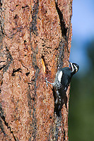 Male Williamson's Sapsucker (Sphyrapicus thyroideus) on side of ponderosa pine tree.  Western U.S.