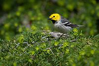 Hermit Warbler (Setophaga occidentalis). Oregon. May.