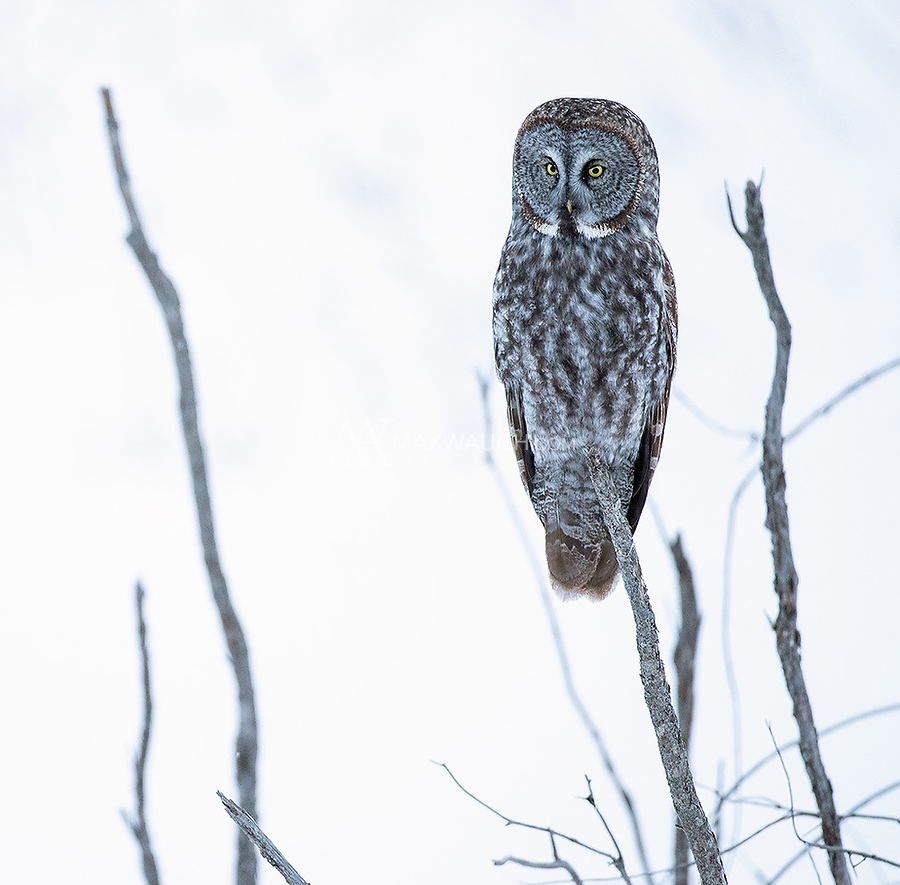 A nice bonus for us one evening was photographing this Great Gray Owl one evening on our way back to town.