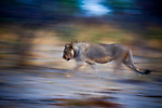 African Lion (Panthera leo) two year old male walking, Mudumu National Park, Namibia
