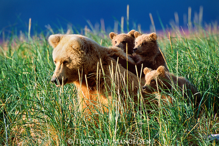 With her three youngsters in tow, a mother brown bear directs her attention to neighboring male bears.