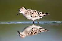 A Semipalmated Sandpiper (Calidris pusilla) and its reflection on the East Pond of Jamaica Bay Wildlife Refuge in Queens, New York City
