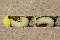 Rote Mauerbiene, Entwicklung, 7. etwa 5 Wochen alte Larve, Larven, Made, Maden in Brutkammer mit Pollen und Trennwand aus Lehm. Entwicklungsreihe Entwicklungsstadien, Brutröhre, Niströhre im Querschnitt, Brutkammer, Brutkammern, Rostrote Mauerbiene, Mauerbiene, Mauer-Biene, Nest, Neströhre, Niströhren, Wildbienen-Nisthilfe, Wildbienennisthilfe, Osmia bicornis, Osmia rufa, red mason bee, mason bee, L'osmie rousse, Mauerbienen, mason bees