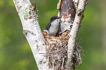 Eastern kingbird adult with chicks in northern Wisconsin.