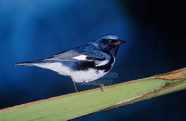 Black-throated Blue Warbler, Dendroica caerulescens,male on Palm Leaf, Rocklands, Montego Bay, Jamaica, Caribbean